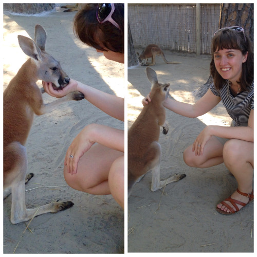 petting a kangaroo at gulf coast zoo