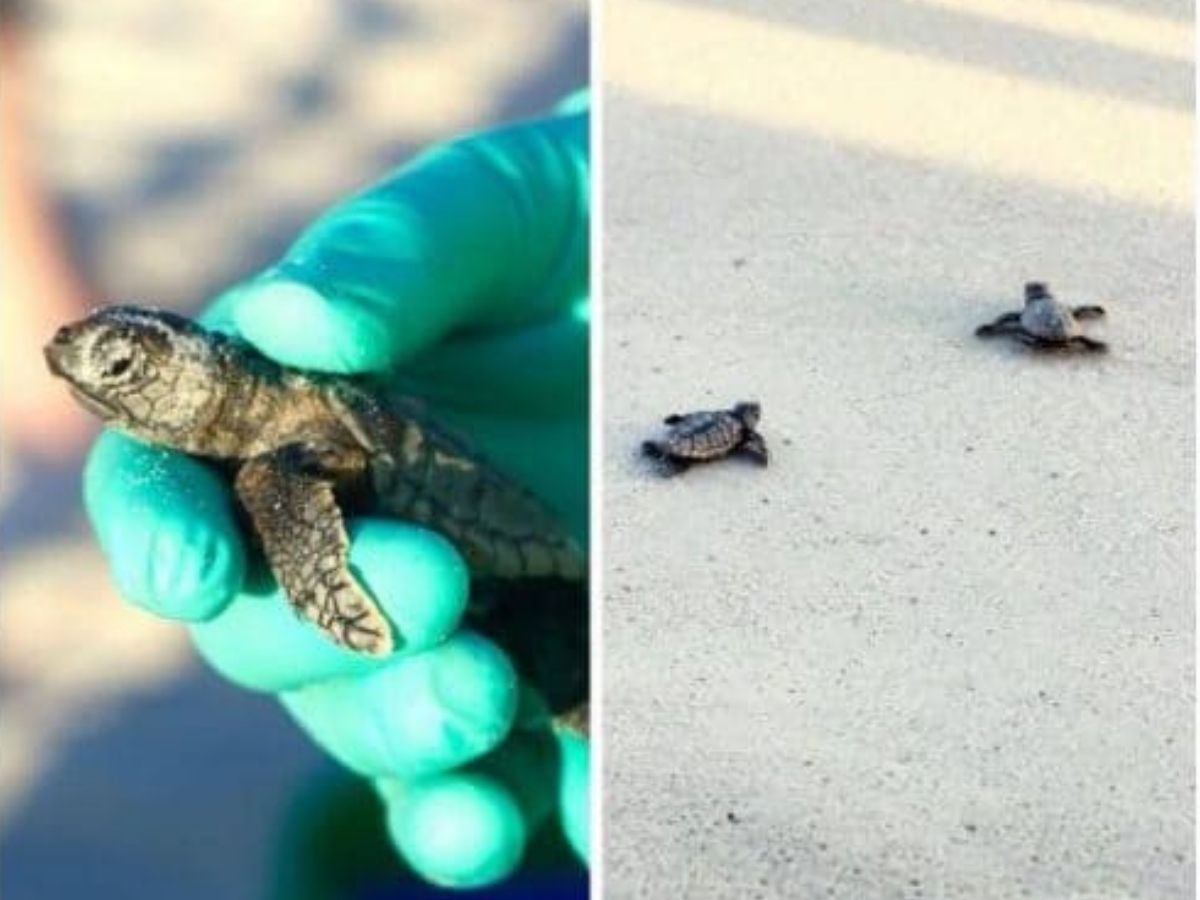 a gloved hand holding a baby sea turtle while two of its siblings scurry across the sand toward the ocean.